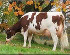 Mejoramiento genetico del ganado