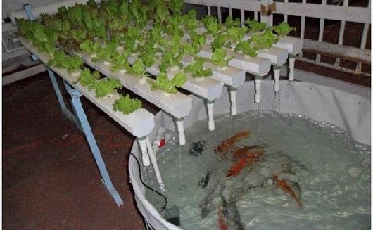 Pregon agropecuario la acuapon a un sistema integrado Como cultivar peces en casa