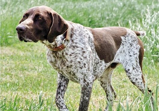 Pregon Agropecuario Raza Canina Braco Alemán Reino